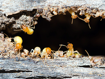 Concept Pest Management Termite Treatments